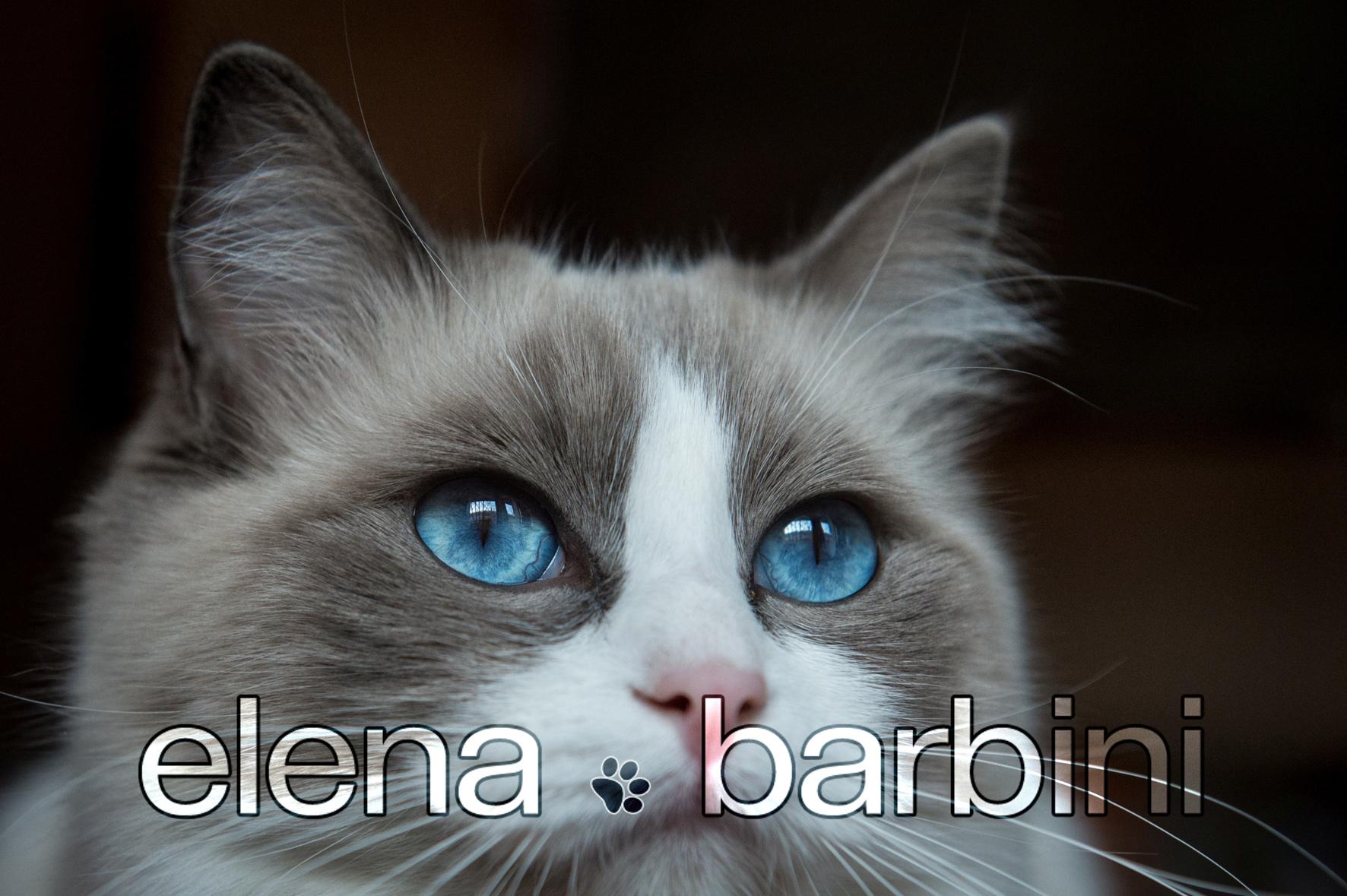 Elena Barbini fotografa di animali : i gatti Ragdoll