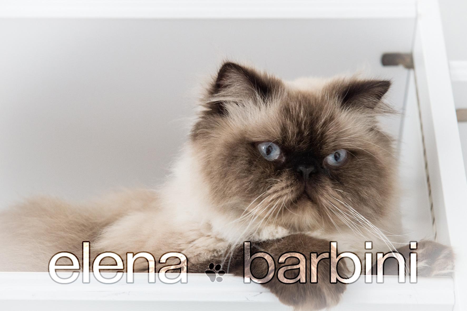 Elena Barbini fotografa animali : il gatto Sir Orazio